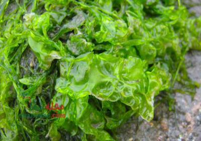 خواص جلبک دریایی برای پوست