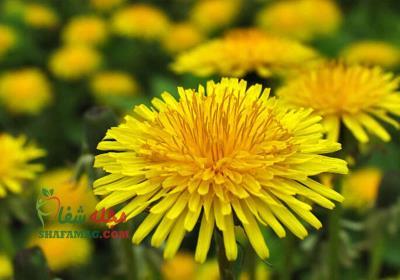 خواص گل قاصدک و لاغری